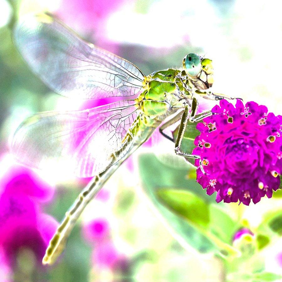 Steven_Hill_Dragonfly